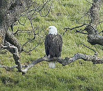 Photographer Steve Thuman shot this photo of the adult Bald Eagles at Los Vaqueros in February 2005