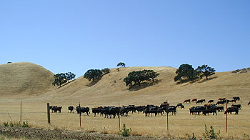 Livestock coming down golden hills to graze closer to the highway